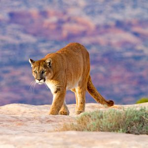 Featured: Photo of a wild mountain lion - Shutterstock