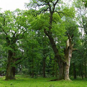 Featured: Ivanacker Oaks - Germany