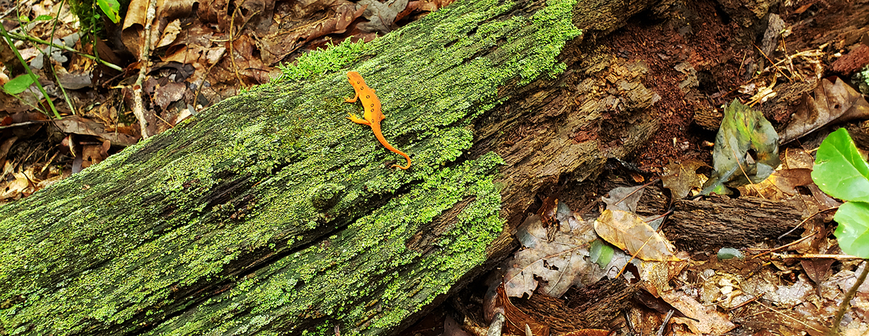 An orange salamander on a moss and lichen covered log - Slider/Cover Image